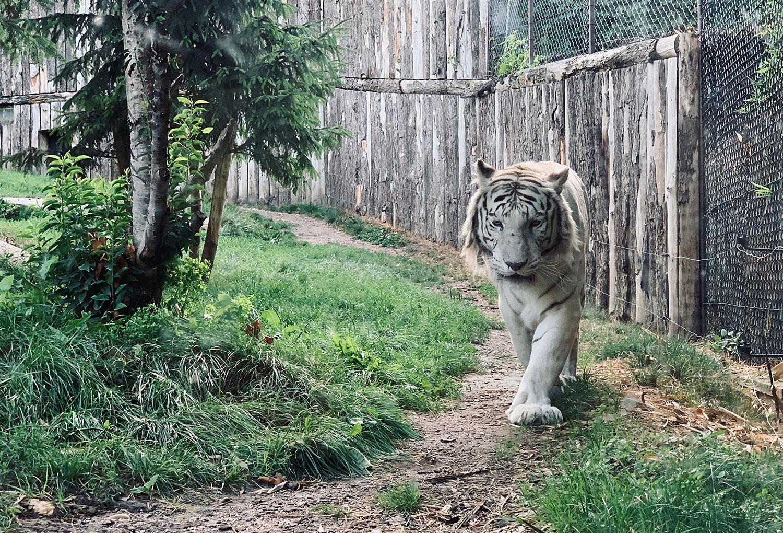 Ein weißer Tiger