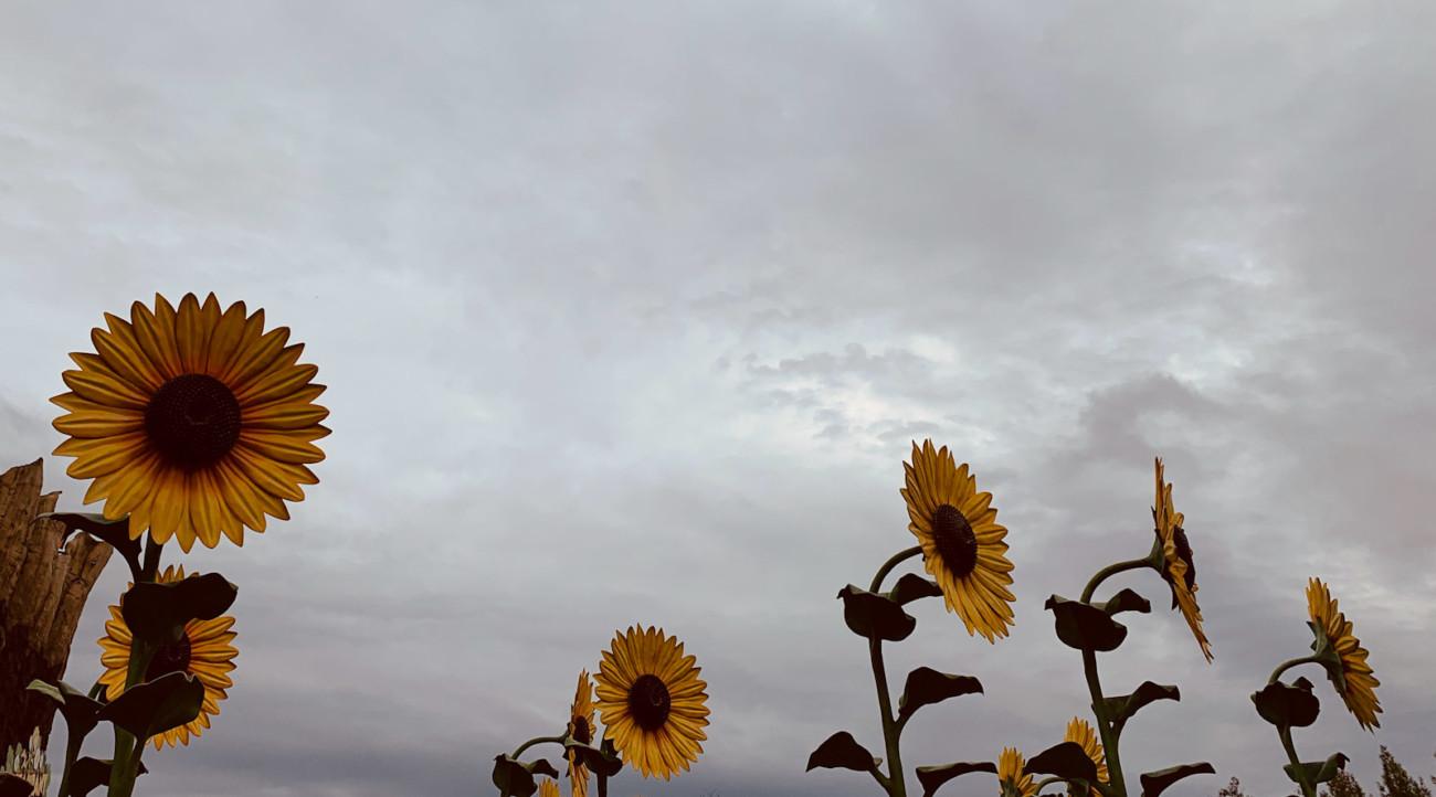 Sonnenblumen im Holiday Park